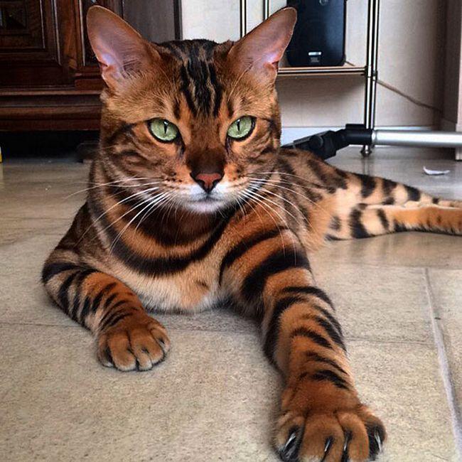 thor-gato-bengal-2