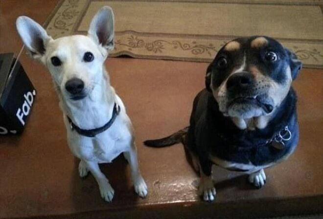 cachorros-culpados-4