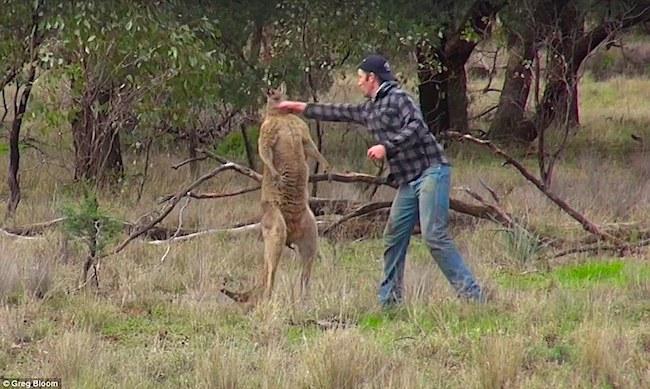 homem-soco-canguru2